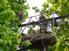 GT Hawk Nest - 0583 (rbs10025) Tags: redtailedhawk buteojamaicensis bird young nest grantstomb generalgrantnationalmemorial morningsideheights manhattan nyc