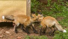 IMGL1463 Pugwash Red Fox Kit(s) (Wallace River) Tags: foxes novascotia pugwashfoxes redfoxes