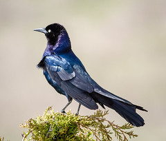 Boat-tailed Grackle (tresed47) Tags: 2018 201805may 20180509njoceancitybirds birds boattailedgrackle canon7d content folder grackle may newjersey oceancity peterscamera petersphotos places season spring takenby us