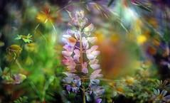 A mysterious garden. (augustynbatko) Tags: garden flowers nature flower bokeh blur crayon grass lupines macro