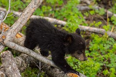 Walking the log (ChicagoBob46) Tags: blackbear cub yellowstone yellowstonenationalpark nature wildlife coth coth5 ngc npc