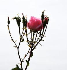 DSC_0157 (PeaTJay) Tags: nikond750 reading lowerearley berkshire macro micro closeups gardens outdoors nature flora fauna plants flowers rose roses rosebuds
