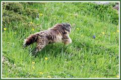 Marmotte course 180606-00-P (paul.vetter) Tags: animal rongeur marmotte mammifère sciuridé marmotamarmota groundhog murmeltier marmota