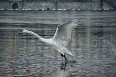 taking off (eva.pave) Tags: swan river nature dof bokeh