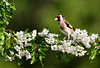 DSC_9161_00001 (Karantez vro) Tags: bird blossom 7dwf chardonneret jilguero