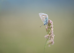 dreamy blue (Emma Varley) Tags: butterfly commonblue grass dreamy soft bokeh nature westsussex june southdownsnationalpark