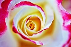 Roses,Iwamoto Mountain Park (ULTRA Tama) Tags: roses iwamotomountainpark japan shizuoka fuji todays dayliphoto instadaily photogenic igjapan loversnippon worldcaptures flickrfriday welovef june 2018 flower divine rose