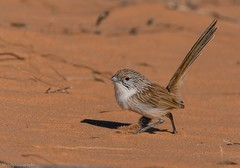 Eyrean Grasswren Amytornis goyderi (Mykel46) Tags: fast sand bokeh small 14xtele 10040mm a9 sony wrens nature birds