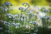 In The Meadow (preze) Tags: cuckooflower ladyssmock mayflower milkmaids cardaminepratensis wiesenschaumkraut blume flower pflanze plant blüten blossom flora blütenblätter petals bokeh spring frühling zart gentle garten garden wiese meadow