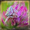 Le thomise épanoui... (*Jost49* (±Off)) Tags: nature araignée thomise spidercrab trèfle clover mimétisme mimicry violet purple macro closeup texture canoneos70d canonef100mmmacrois