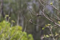 20180602-0I7A5791 (siddharthx) Tags: 7dmkii ananthagiri ananthagiriforest ananthagiriforestrange bird birdwatching birding birdsinthewild birdsofindia birdsoftelangana canon canon7dmkii cottoncarrierg3 ef100400f4556isii ef100400mmf4556lisiiusm forest goldenhour jungle landscape monsoon muddy nature rain rains telangana tree trees vikarabad wet wild wildbirds wildlife longtailedshrike shrike baybackedshrike burgupalle india in rufousbackedshrike