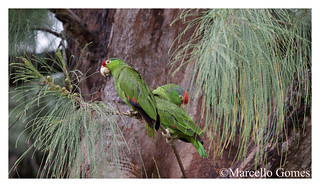 Red-crowned Parrot(s) (Amazona viridigenalis)- RCPA - Peek, Perch, & Preen  (best seen large)