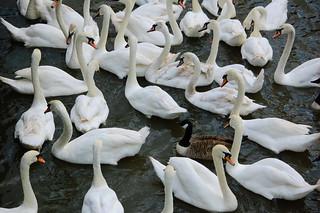 Feeding time: swans, Stratford on Avon