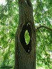 The holey tree. (Simply Sharon !) Tags: tree hole growing nature june