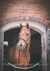 sophie 2 (eparkinsonphotography.com) Tags: bridle stable doorway framed bricks horse eye mare chestnut nose rustic equine