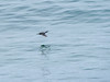 Lossie-180523-5233007.jpg (mike_reid.5710) Tags: morayfirth lossie shag wildlife birds scotland lossiemouth