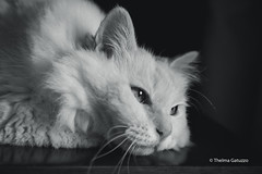 Beloved Marie (Thelma Gatuzzo) Tags: domesticanimal portrait 2017 pet chat animaldoméstico gata home gato felino thelmagatuzzo© estimação cat
