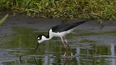 Stilt (rick41241) Tags: video bird stilt water