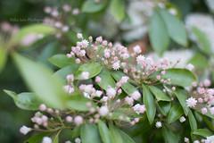 Mountain-laurel (MikaJC) Tags: bbg flowers buds mountainlaurel kalmialatifolia カルミア
