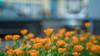 DSCF3776 (::nicolas ferrand simonnot::) Tags: canon fd 35 mm f2 1974 | 8 blades aperture mount paris 2018 bokeh depth field color vintage manual classic japanese fixed length prime lens profondeur de champ flower close up macro yellow purpple extérieur wideopen wide open fleur jardin vivid light effet