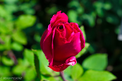 Rose_Love (BARUN DASH) Tags: rose garden flower beauty love bern switzerland swiss freshness elegance nature