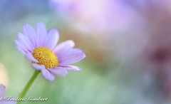 Soft ray (frederic.gombert) Tags: flower flowers ray light color white pink yellow daisy colors plant macro garden sun sunlight spring summer bloom blossom nikon