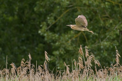 Bittern over reed bed (Stickyemu) Tags: wildlife nature bif suffolk rspb reeds reedbed bittern waterbird flying nikond500 nikon200500mmf56
