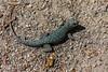 Poised (davidseibold) Tags: america animal california jfflickr kerncounty lizard nature pebble photosbydavid postedonflickr unitedstates usa windwolvespreserve bakersfield
