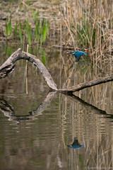 MP (3 sur 19) (loomistudio) Tags: rouge martinpêcheur loomistudio étang oiseaux couleurs bleu