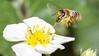 HoneyBee & strawberry flower (Vadim Tsymbalyuk) Tags: bee macro flight flower honeybee strawberry macromondays allnatural