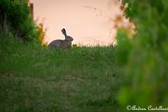La Lepre della sera (Castello foto) Tags: lepre selvatico wild fauna campagna sunset tramonto canon wildphotography wildlife sera orecchie
