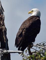 Watchful eye (Snixy_85) Tags: eagle baldeagle haliaeetusleucocephalus