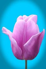 Tulip . Our garden! (Uhlenhorst) Tags: 2018 germany deutschland bavaria bayern plants pflanzen flowers blumen blossoms blüten