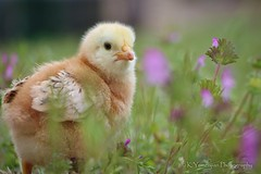Hello! (K.Yemenjian Photography) Tags: babychick chick chicken bird birds animal animalplanet beautyofnature grass depthoffield shallowofdepth closeup macro yellow cutest cute baby portrait