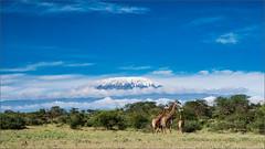 Giraffes in front of the Kilimandscharo (Apertur1) Tags: kilimandscharo giraffe kenya