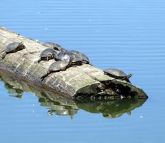 Turtles on a Log (Slideshow Bruce) Tags: pond turtles eugene oregon