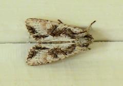 Moth (Sandy Austin) Tags: panasoniclumixdmcfz70 sandyaustin massey westauckland auckland northisland newzealand moth