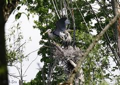 Look And Learn Kids (Swift Wings) Tags: heron blue herons nest chicks nature wildlife greatblueheron waterfowl animal ontario