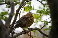 Blackbird girl (Kiddi Kristjans) Tags: blackbird female svartþrösur fugl branch grein tré tree summer spring sony 100400 fe gm gmaster iceland reykjavík a7riii