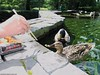 Mallards (Anas platyrhynchos) (Jeff G Photo - 3m+ views - jeffgphoto@outlook.c) Tags: anasplatyrhynchos mallard duck water waterfowl canarywharf jubileepark