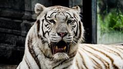 Siberian white Tiger (ΨᗩSᗰIᘉᗴ HᗴᘉS +27 000 000 thx) Tags: siberianwhitetiger tigreblancdesibérie tigre tiger fauna 7dwf themelibre animal pairidaiza zoo hensyasmine namur belgium europa aaa namuroise look photo friends be wow yasminehens interest intersting eu fr greatphotographers lanamuroise tellmeastory flickering