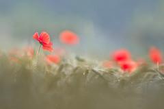 Spring (donlope1) Tags: macro nature light flower fleur poppies poppy sunrise sun bokeh spring morning
