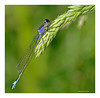 Damsel sipping dew. (Graham Pym) Tags: damselfly nikon dew plant grass waterside wings colours odonata insect macro alittlebeauty coth5 fantasticnature