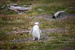 Juvenile magellanic penguin, Ushuaia, Argentina (pas le matin) Tags: penguin magelanicpenguin manchot manchotdemagellan travel voyage animal terredefeu tierradelfuego ushuaia argentina argentine southamerica patagonie patagonia 5d 5dmkiii canon5d canon5dmkiii canoneos5dmkiii eos5d eos5dmkiii