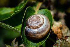 my cozy place (-Michal Slezak-) Tags: nature wildelife nikon d610 tamron 90mm primelens przyroda fixedfocal macro macrodreams closeup leaf fullframe beautiful beauty northamptonshire northants snail shell