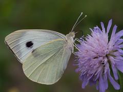 Pieris brassicae (Kalmár_Zsuzsanna) Tags: olympuse620 macro butterfly mariposa schmetterling nature natur natura pierisbrassicae