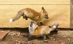 IMGL1422 Pugwash Red Fox Kit(s) (Wallace River) Tags: foxes novascotia pugwashfoxes redfoxes