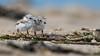 Piping Plover | 2018 - 23 (RGL_Photography) Tags: birding birds birdwatching charadriusmelodus chick endangeredspecies gardenstate gatewaynationalrecreationarea hatchling jerseyshore monmouthcounty mothernature newjersey nikonafs600mmf4gedvr nikond500 ornithology pipingplover plover sandyhook shorebirds us unitedstates wildlife wildlifephotography