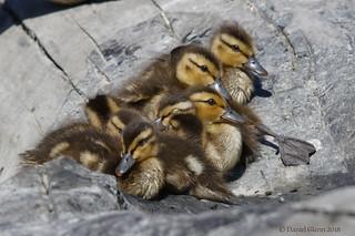 Brood of Mallard chicks
