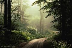 My green heart (Rita Eberle-Wessner) Tags: forest woods waldweg forestpath fog nebel bäume trees tree baum buchen holunder magic atmosphere mood magie atmosphäre stimmung wald laub leaves laubwald zauberwald enchanted verzaubert geheimnisvoll mysterious green grün mygreenheart odenwald